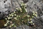 Photo 3/3 Galium pusillum L.