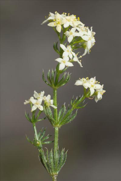 Galium pusillum L.