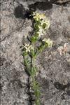 Photo 1/3 Galium pusillum L.