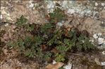 Allosorus hispanicus (Mett.) Christenh.