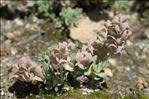 Aethionema thomasianum J.Gay