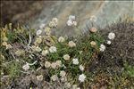 Photo 9/9 Armeria ruscinonensis Girard
