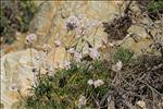 Photo 8/9 Armeria ruscinonensis Girard