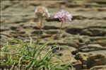 Photo 6/9 Armeria ruscinonensis Girard