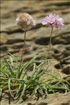 Photo 5/9 Armeria ruscinonensis Girard