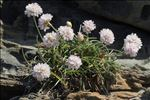 Photo 1/9 Armeria ruscinonensis Girard