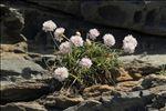 Photo 2/9 Armeria ruscinonensis Girard