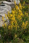 Galium verum subsp. wirtgenii (F.W.Schultz) Oborny