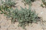 Artemisia caerulescens subsp. densiflora (Viv.) Gamisans ex Kerguélen & Lambinon