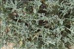 Artemisia caerulescens L.