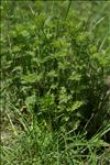 Photo 8/8 Artemisia molinieri Quézel, M.Barbero & R.J.Loisel