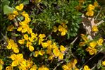 Genista pilosa subsp. jordanii (Rouy) Braun-Blanq.