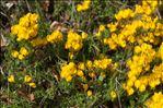 Cytisus ardoinoi subsp. sauzeanus (Bumat & Briq.) Auvray