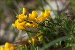Photo 2/2 Cytisus ardoinoi E.Fourn.
