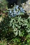 Photo 2/2 Delphinium montanum DC.