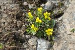 Photo 3/3 Draba hoppeana Rchb.