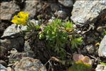 Photo 2/3 Draba hoppeana Rchb.