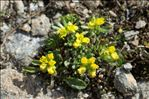 Photo 1/3 Draba hoppeana Rchb.