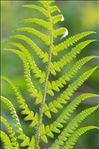 Dryopteris ardechensis Fraser-Jenk.