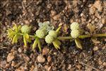 Galium verrucosum var. halophilum (Ponzo) Natali & Jeanm.