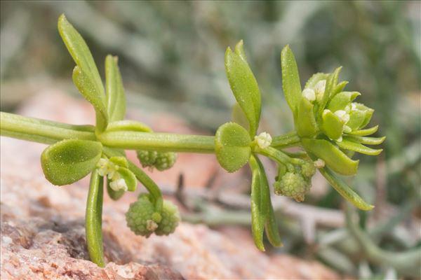 Galium verrucosum Huds.
