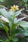 Gentiana burseri subsp. villarsii (Griseb.) Rouy