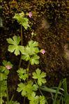 Photo 1/4 Geranium lucidum L.