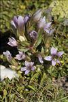 Gentianella ramosa (Hegetschw.) Holub