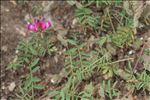 Hedysarum glomeratum F.Dietr.
