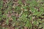 Photo 2/3 Hedysarum glomeratum F.Dietr.