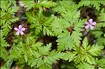 Photo 3/3 Geranium robertianum L.