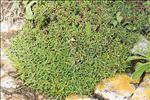 Limonium bonifaciense Arrigoni & Diana
