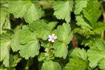 Photo 2/4 Geranium rotundifolium L.