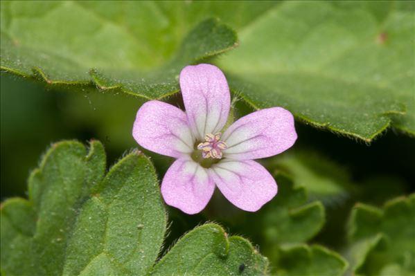 Geranium rotundifolium L.