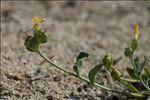 Linaria flava subsp. sardoa (Sommier) A.Terracc.