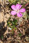 Geranium sanguineum L. var. sanguineum