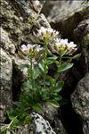 Noccaea corymbosa (J.Gay) F.K.Mey.