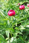 Photo 1/4 Paeonia officinalis L. subsp. officinalis