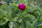 Photo 4/4 Paeonia officinalis L. subsp. officinalis