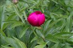 Photo 3/4 Paeonia officinalis L. subsp. officinalis
