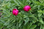 Paeonia officinalis L. subsp. officinalis