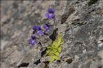 Pinguicula longifolia subsp. caussensis Casper