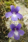 Pinguicula longifolia Ramond ex DC.