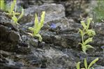 Pinguicula longifolia Ramond ex DC. subsp. longifolia