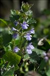 Photo 5/5 Glechoma hederacea L.