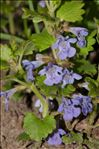 Photo 2/5 Glechoma hederacea L.