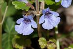 Photo 1/5 Glechoma hederacea L.