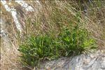Plantago coronopus subsp. humilis (Guss.) Gamisans