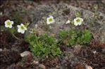 Saxifraga rosacea Moench