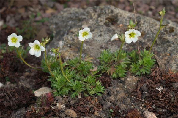 Saxifraga rosacea subsp. sponhemica (C.C.Gmel.) D.A.Webb
